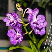 Bouquet Of Purple Orchids, Vanda