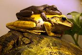 Java Whipping Frog