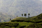 foto of darjeeling  - Landscape and famous Tea plantation Darjeeling India - JPG