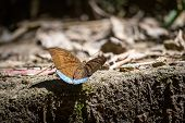Common Earl Butterfly