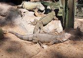 Iguana (iguana Iguana)