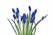 Blue Muscari Flowers Isolated