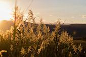 Grass In Backlight