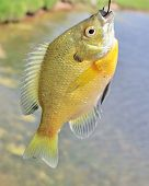 pic of bluegill  - A freshwater sunfish caught on a hook - JPG