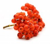 Red Ashberry