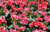Beautiful Background Of Flowers Big Begonias