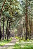 Dense Forest In Usedom