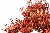 Red Leaves Of Zelkova Tree