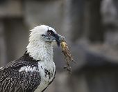 Bearded Vulture Take A Meat