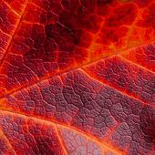 Texture with cells maple leaf