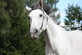 stock photo of bridle  - Gray latvian breed horse portrait with black bridle