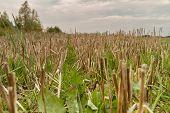 Cut Grass Stalk Sear