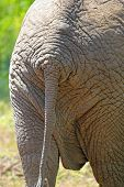 Back And Tail Of An African Elephant