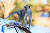 Monkey (crab-eating Macaque) Climbing On Car In Thailand