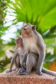 One Couple Of Monkey (crab-eating Macaque) In Thailand
