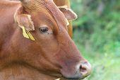 Portrait Of A Zebu Cow