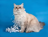 pic of pointed ears  - Siberian cat seal point sitting with Christmas garlands on blue background - JPG