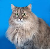 Tricolor Fluffy Cat On Blue
