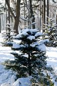 Winter Landscape Spruce Tree In The Park