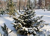 Winter Landscape Spruce Trees In The Park