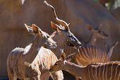 image of antelope horn  - greater kudu  - JPG
