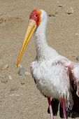 picture of stork  - close up of a yellow billed stork a large bird native to Africa seen here in a Zoo in California - JPG