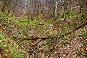 image of fallen  - Fallen trees in a deciduous forest on a spring day - JPG