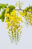stock photo of vishu  - Flower of golden shower tree on white background - JPG