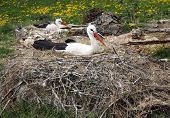 picture of stork  - Close - JPG