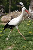 pic of stork  - Looking For Food Stork Is Walking By Green Lawn