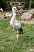 stock photo of stork  - Looking For Food Stork Is Walking By Green Lawn - JPG