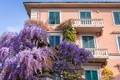 pic of lilac bush  - Traditional italian architecture of Pisa city with purple lilac bushes - JPG