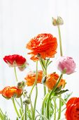 foto of buttercup  - Colorful persian buttercup flowers  - JPG