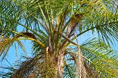 image of green-blue  - Colorful close up shot of the fronds of a Queen palm tree against a bright blue sky - JPG