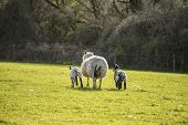 picture of spring lambs  - Beauitful landscape image of Spring lambs and sheep in fields during late evening light - JPG