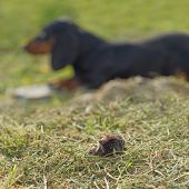 foto of mole  - Dachshund Dog LAying in the Grass by Dead Mole in the Garden - JPG
