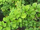 stock photo of barberry  - Green leaves of Barberry Thunbergii - JPG