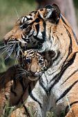 Tiger cub with mum
