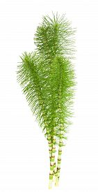picture of horsetail  - Cutting horsetail plants isolated on white background - JPG