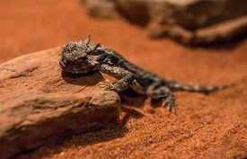 picture of lizards  - The Roundtail horned lizard is a specialized ant eating lizard - JPG