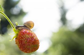 picture of garden snail  - Little garden snail crawling on Strawberry on a background garden - JPG