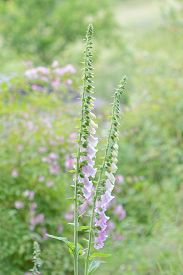pic of digitalis  - Two plants of the toxic foxglove  - JPG