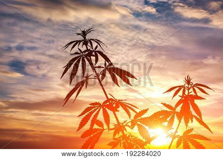 Silhouette Of Cannabis On A