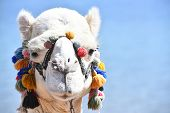 Camel Muzzle Decorated With Pompons poster