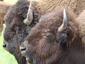 stock photo of female buffalo  - Male and female buffalo during the beginning of mating season at Custer State Park SD - JPG