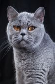 Portrait Of A Gray British Shorthair Cat poster