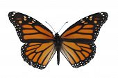 picture of monarch butterfly  - a monarch butterfly - JPG