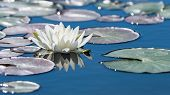 White Lotus Flower On Mirror Blue Pond Surface poster