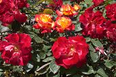 Red roses in a garden at spring