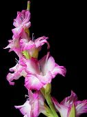 pic of gladiola  - Bright pink gladiola with dew drops isolated on black - JPG
